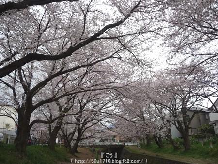 150403-桜 大和千本桜 (51)