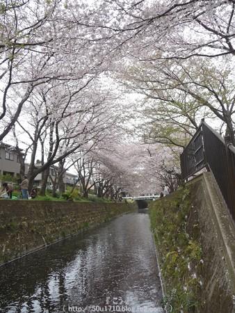 150403-桜 大和千本桜 (56)