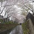Photos: 150403-桜 大和千本桜 (56)