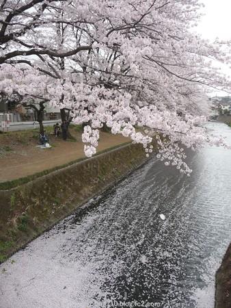 150403-桜 大和千本桜 (75)