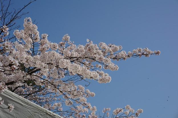 2015年3月30日 西公園 桜 福岡 さくら 写真 (6)