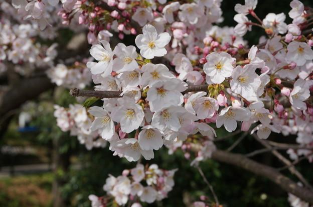2015年3月30日 西公園 桜 福岡 さくら 写真 (59)