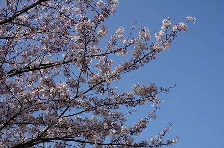 2015年3月30日 西公園 桜 福岡 さくら 写真 (68)