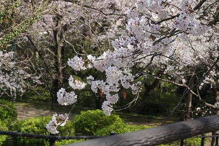 2015年3月30日 西公園 桜 福岡 さくら 写真 (82)