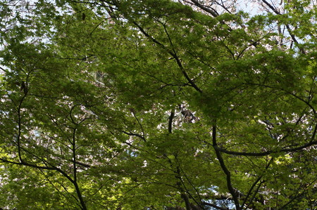 2015年3月30日 西公園 桜 福岡 さくら 写真 (125)