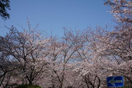 2015年3月30日 西公園 桜 福岡 さくら 写真 (129)