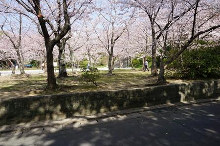 2015年3月30日 西公園 桜 福岡 さくら 写真 (134)