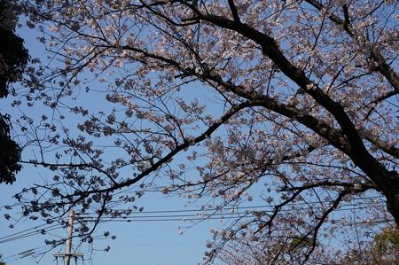 2015年3月30日 西公園 桜 福岡 さくら 写真 (137)