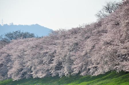 八幡市 背割堤の桜並木