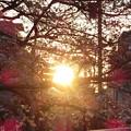 Photos: 桜の隙間から朝日