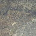 ナンヨウボウズハゼ1-20111104