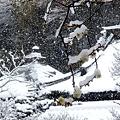 Photos: 東慶寺黄梅20120229
