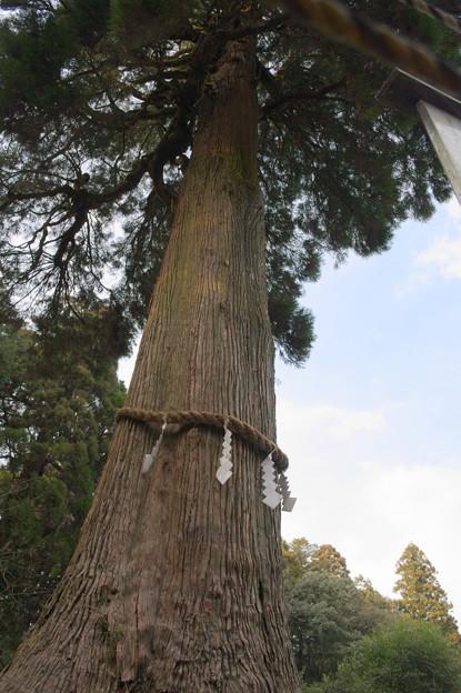 写真: 巨樹