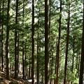 三峯神社の杉林