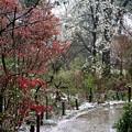 桜絨毯の多聞院の散策道