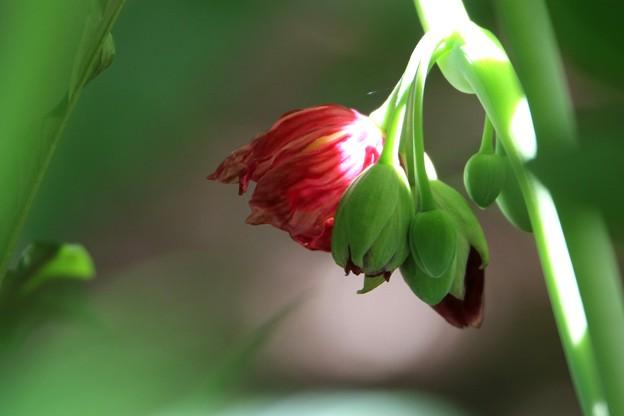 八角クレンの花
