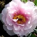 淡いピンクの牡丹