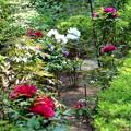 牡丹の開花風景