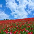 彩の国ふれあい牧場のポピー畑
