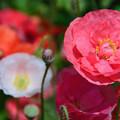 写真: 色とりどりのポピーの花