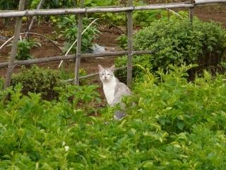 田んぼネコ2