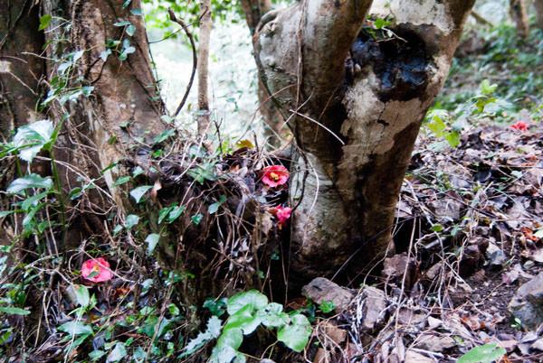 椿の原生林