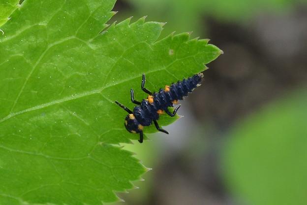 ナナホシテントウ幼虫