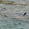 写真: 高山ツバメ