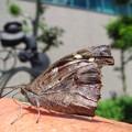 写真: 手の甲に止まった 蝶? 蛾?