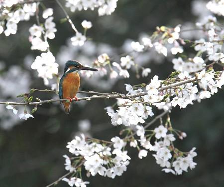 カワセミ(183)−桜とヤマブキを背景に