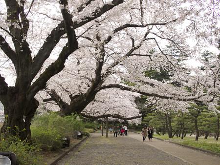 バラ園横の桜並木(2)