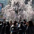 袴腰広場・桜咲く