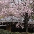 茶亭を覆う枝垂れ桜