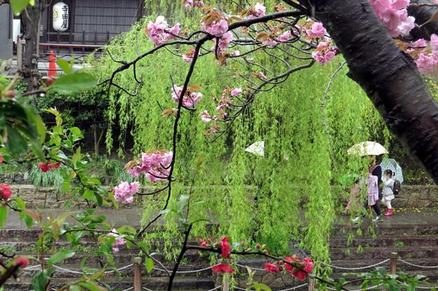雨中・お花見散歩