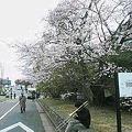 Photos: 待兼山の桜