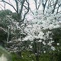 Photos: 待兼山の桜2