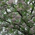 センダン(楝)の花 (2)