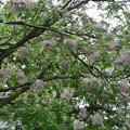センダン(楝)の花 (3)