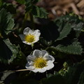 Photos: Strawberry(Flower)