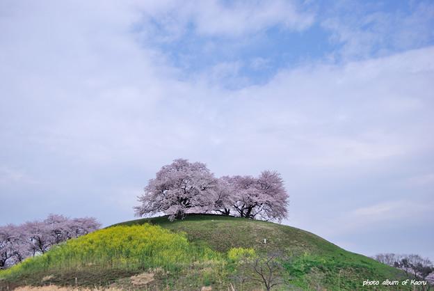 丸墓山古墳の桜