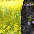 150426桜と菜の花
