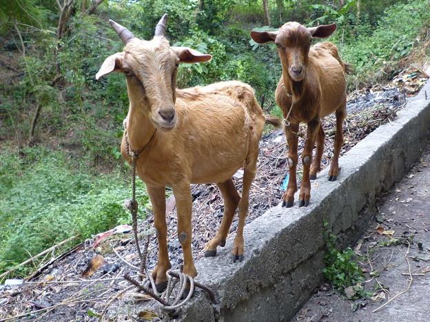 敵愾心の芽生え Roadside goats