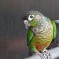 猜疑の目(ウロコインコ) Yellow-sided green-cheeked parrot   *止まり木を掴みかえるや身を捩て疑うようにわれを見にけり