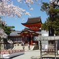 Photos: 「うつつに逢ふや男山」桜祭 Iwashimizu Hachiman Shrine
