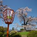 Photos: *篝火を待ちわび顔の桜かな Cherry blossoms at Maruyama Park,Kyoto