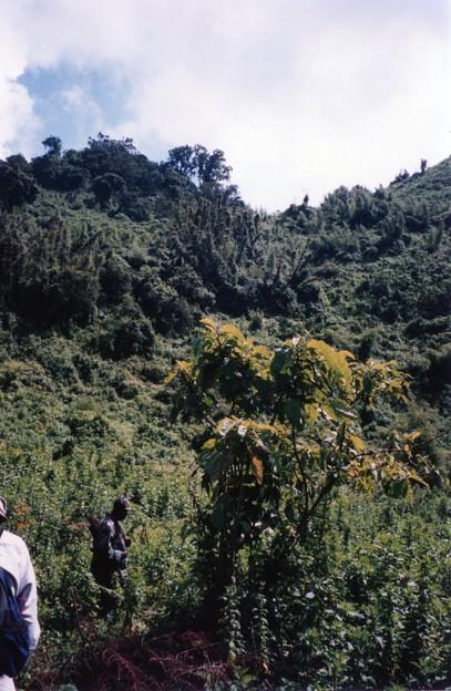 ゴリラを追って森を彷徨う! ルワンダ Gorilla Forest ,Rwanda