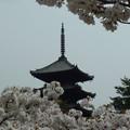 写真: 御室桜と五重塔 Omuro-zakura with the pagoda       *佐保神の別れかなしも 来ん春にふたたび逢はんわれならなくに