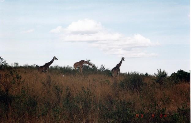 キリン3兄弟  マサイマラ Three Giraffe Brothers ,Kenya      *サバンナのおどろが中を遠ざかるキリンの首は雲に届けり