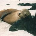 ガラパゴスアシカ ♪このまま何時間でも~♪ Galapagos Sea Lion