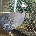 真珠の装い(ホロホロ鳥) Pearly bird (Guinea Fowl)